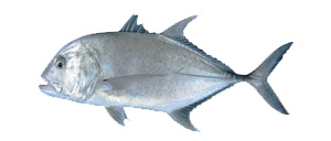 Trevally - Cannon Charters