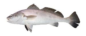 Jewfish - Cannon Charters