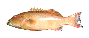 Coral Trout - Cannon Charters