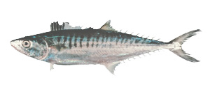 Mackeral - Cannon Charters