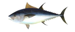 Tuna - Cannon Charters