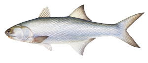 Threadfin Salmon - Cannon Charters